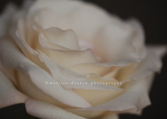 .delicate. (polkadotandplaid) Tags: white flower macro nature rose soft cream delicate upclose creamy