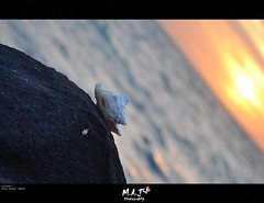 Seashell - صدفة - M.A.J photography (M.A.J Photography) Tags: sunset sea nature natural pov seashell sunsit vew بحر العروس درة قوقعة صدفة ringexcellence