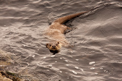 Otter,  Yell Sound,  Shetland,  Scotland (David May) Tags: sea wild mammal norwegian sound otter aquatic yell isles shetland mossbank voe tofts