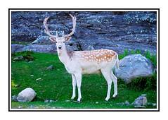 Parc Omega - 3 (deejay008) Tags: summer canada nikon picnic quebec wildlife deer urbannature urbanwildlife parcomega familyvacation montebello nikond5000 summer2011 afsdx35mmvr
