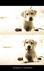 The Pursuit of Happyness (pugaipadangal) Tags: street dog india cute monochrome sepia puppy happy diptych lab heaven labrador sad hell streetlife doggy pup chennai tamilnadu 115 chained cwc redhills chennaiweekendclickers walk115