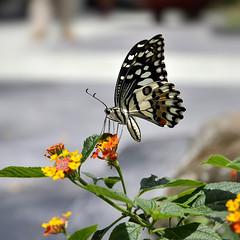 Butterfly on flower #2 (e.nhan) Tags: life light flower art nature closeup butterfly spring colorful dof bokeh butterflies backlighting enhan