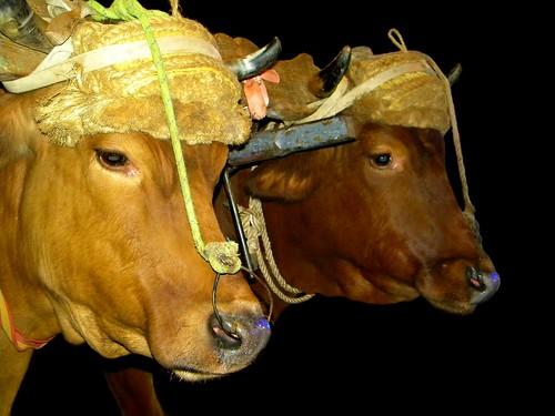 Las vacas by Arice39