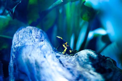 poison dart frog (1 of 1)