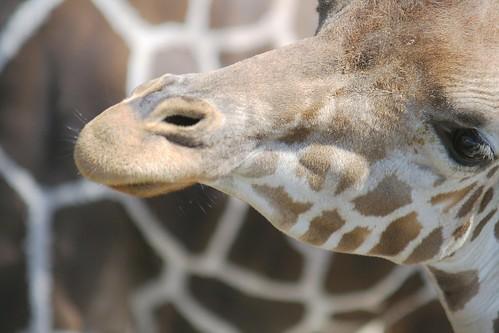 キリン/giraffe