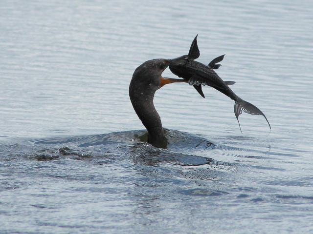 Cormorant vs Plecostomus 20110925 103439AM