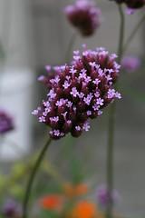 Purple Dof (Read2me) Tags: she flower macro dof bokeh cye thechallengefactory pregamesweepwinner gamesweepwinner pregameduelwinner