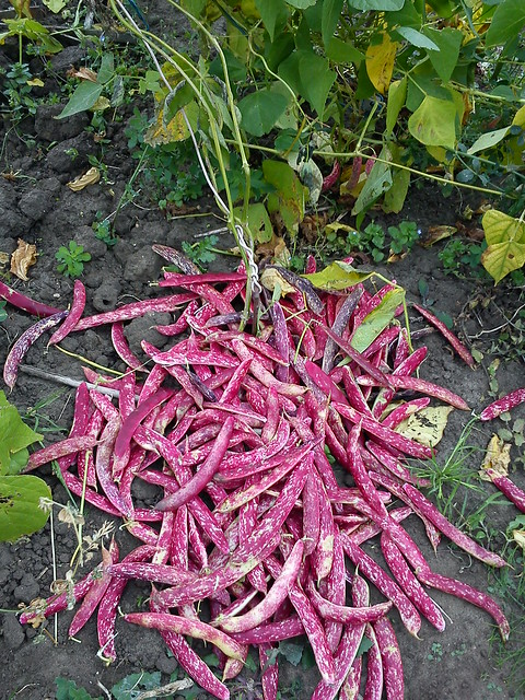 Borlotti Beans - this years harvest