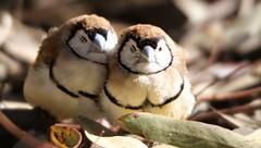Morning Snuggle (AdamNoosa) Tags: morning sleeping cute adam bird love nature smile birds snuggle warmth double finch cuddle gormley barred