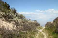 Beach Plum in Bloom and Long Island Sound (sandy richard) Tags: usa newyork unitedstates geology wildwood calverton wildwoodstatepark newyorkstateparks sandyrichard longislandgeology sandrarichard