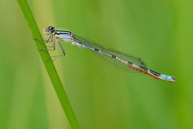 A Marsh Bluet (Enallagma ebrium) with water mites (Arrenurus sp.) attached.