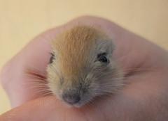Wstenrennmausbaby - gerbil baby (borntobewild1946) Tags: gerbil maus wstenrennmaus gerbilbaby berndloos borntobewild1946 copyrightbyberndloos wstenrennmausbaby mousewstenrennmaus