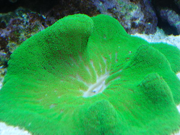 concha-verde