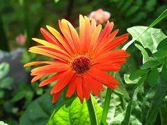 Gerbera (dog.happy.art) Tags: orange plant flower gerbera daisy bloom gerber blooming