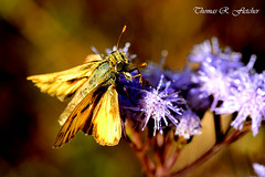 Least Skipper Blossom (travelphotographer2003) Tags: yellow butterfly insect purple bright feeding blossom nectar proboscis pollinate pollination pollinating silverspottedskipper beautyinnature brilliantcolor ancyloxyphanumitor