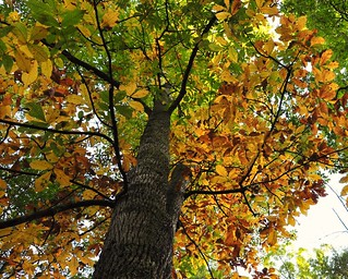 Hickory tree at Otter Creek, Blue Ridge Parkway