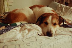 28/365 (aliia) Tags: sleeping rescue dog saint st bernard puppy bed sleep sheets tired bedding