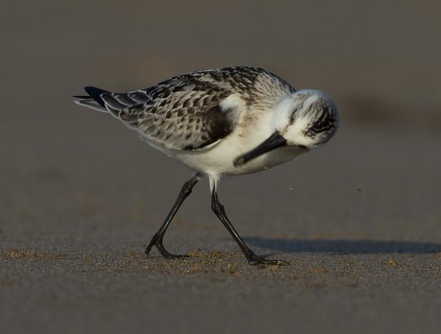 sanderling head shake