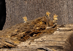 Golden Mantled Ground Squirrels (sierrasylvan) Tags: california mountains canon squirrel hiking sierranevada canoneosdigitalrebelxt grouseridge nevadacounty goldenmantledgroundsquirrel canonef70300mmf4556isusmlens grouseridgelookout mygearandme flickrstruereflection1
