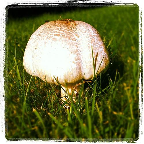 2 octobre, 30 degrés, et champignons des le jardin... C'est très très bizarre.