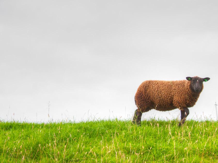 Baa baa brown sheep