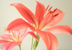 two tiger lilies 13 (crorlz) Tags: pink flower lily ngc petal stamen pollen tigerlily flowerthequietbeauty