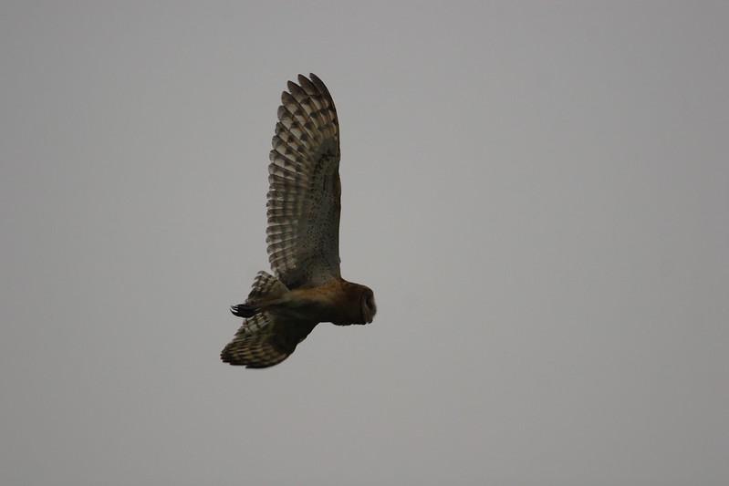 展翅飛翔的草鴞,台灣保育草鴞行動也剛起步。(攝影:柯木村,高雄鳥會提供)