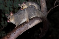 Brushtail and Bub (petefeats) Tags: nature australia queensland trichosurusvulpecula brushtailpossum girraweennp withyoung commonbrushtail