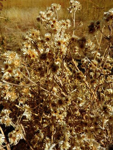 autumn weedsa