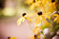 ({katesea}) Tags: flower yellow 50mm blackeyedsusan cambridgebotanicalgardens nikond90 cararosepreset sanfraninspired