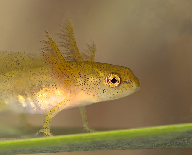 smooth newt tadpole 2 stacked edited