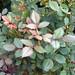 Dewdrops on rosebush. Photo: Liz Jones, Croghan NY.