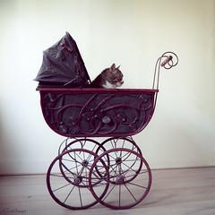 furry baby (moggierocket) Tags: pet baby cat funny stroller wheels kedi oldfashioned cradle rosemarysbaby lookingforward thelittledoglaughed itookherforaridethroughthelivingroomshethoughtitwasfascinating