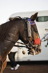 10102011-DSC_1764 (BADALLIAU) Tags: cheval feurs cheveaux courseshippique chevaljockey