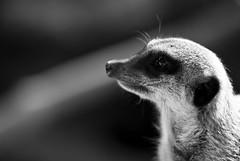 Meerkat (Simon Didmon) Tags: park wild bw animal port zoo kent meerkat nikon 14 sigma 70200 f28 teleconverter lympne d3000
