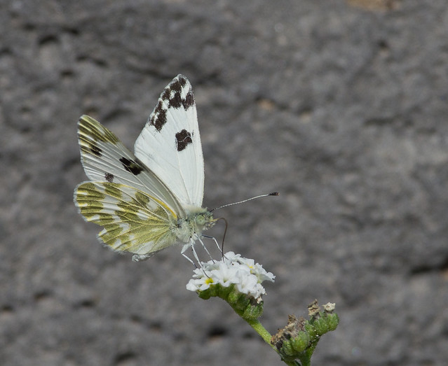 bath white butterfly 2