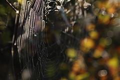 The spider's web (Marjon Bleeker) Tags: spider morninglight autum web autumcolors