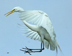 crazy landing (Dianne M.) Tags: white flight egret   thewonderfulworldofbirds blinkagain
