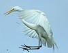 crazy landing (Dianne M.) Tags: white flight egret цапля белаяцапля thewonderfulworldofbirds blinkagain