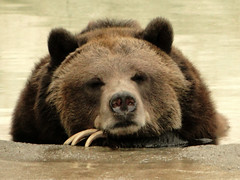 Bored Bear Is Bored (Maia C) Tags: bear zoo comment detroitzoo grizzlybear maiac sonydschx1