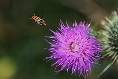 Hover fly (Kenneth Tinnesen) Tags: macro nature bug insect denmark fly wildlife beetle insects bugs beetles hover