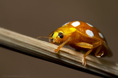Halyzia sedecimguttata / Orange Ladybird / Slunko (Jaroslav Kaas) Tags: canon insects beetles arthropods arthropoda coleoptera coccinellidae insecta ladybirdbeetles taxonomy:class=insecta taxonomy:kingdom=animalia taxonomy:order=coleoptera taxonomy:family=coccinellidae taxonomy:phylum=arthropoda camera:make=canon exif:make=canon exif:iso_speed=200 platinumheartaward exif:aperture=f8 wonderfulworldofmacro exif:flash=on taxonomy:binomial=halyziasedecimguttata camera:model=canoneos7d exif:model=canoneos7d taxonomy:genus=halyzia taxonomy:species=sedecimguttata exif:exposure=1250sec exif:tripod=on exif:lens=canonef100mmf28lmacroisusm original:filename=img12411jpg