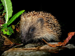 IMG_1936 (rupert67) Tags: wildlife hedgehog erinaceinae