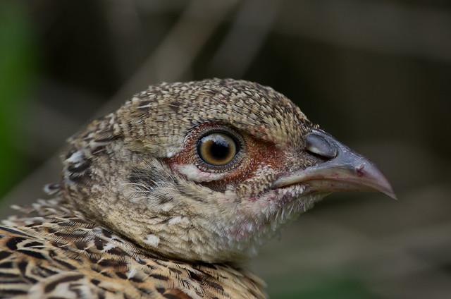 pheasant juvenile 4