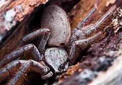 Big Girl (liipgloss) Tags: macro insect spider bush 100mm huntsman stunningphotogpin
