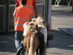 P9160108 (keepps) Tags: summer horse animal schweiz switzerland suisse circus september pony knie vaud nyon