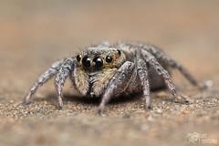 Salticidae II - 17-09-2011 - MACRO (Daniel Piovesana) Tags: macro true fauna lens reverse lente aranha invertida salticidae saltadora speder sigma3570mm