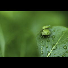 Its Done :) | Explored (VinothChandar) Tags: life india macro green nature leaves rain canon bug photography photo droplets drops photos vibrant vivid insects camouflage monsoon mating mate chennai tamilnadu besantnagar theosophicalsociety canoneos5dmarkii