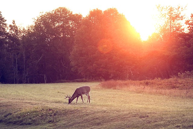 morning deer
