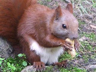 Eichhörnchen hat Erdnuß erbeutet., NGIDn80477797